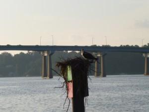 Ospreys in the Severn River