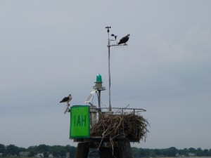 Sailing past osprey at the mouth of the Severn River