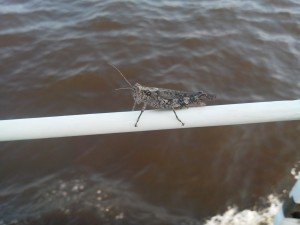 Woody, the grasshopper, goes for a ride on Schooner Woodwind