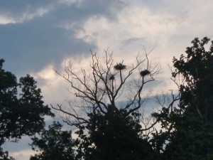 Blue Herons in their nests up Chase Creek, on the Severn River