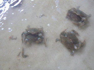 Crabs mating at Cantler's